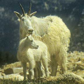 Mountain goats make the Anthony Lake area their home. Photo by William Sullivan
