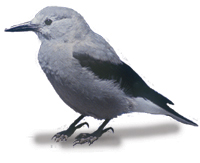 Keep your eyes open for Clark's Nutcracker - native to this area. It is the only bird species to be named after William Clark of the Lewis & Clark expedition.